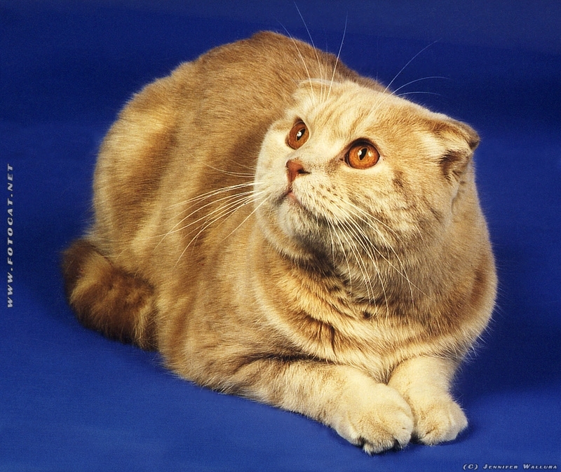 Scottish Fold, Katze